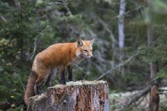 Red fox Vulpes vulpes on tree stump in Algonquin Royalty Free Stock Photography