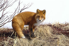 Red Fox. (Vulpes Vulpes). Royalty Free Stock Images
