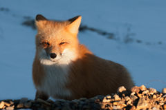 Red Fox. Vulpes vulpes Royalty Free Stock Photos
