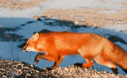 Red Fox. Vulpes vulpes Royalty Free Stock Photography