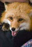Red Fox (Vulpes vulpes) Royalty Free Stock Photo
