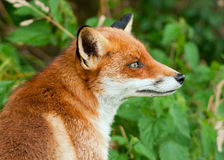 Red fox (Vulpes vulpes) Stock Photography