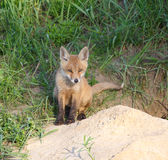 Red Fox ( Vulpes vulpes ) Royalty Free Stock Photography
