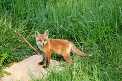 Red Fox ( Vulpes vulpes ) Stock Photos
