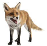Red Fox, Vulpes vulpes, 4 years old Stock Photography