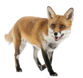 Red Fox, Vulpes vulpes, 4 years old. In front of white background Stock Photography