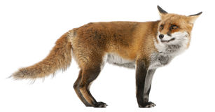 Red Fox, Vulpes vulpes, 4 years old Stock Photos