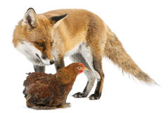 Red Fox, Vulpes vulpes, 4 years old, playing Royalty Free Stock Photos