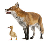 Red Fox, Vulpes vulpes, 4 years old, playing Stock Photos