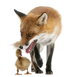 Red Fox, Vulpes vulpes, 4 years old, playing Stock Image