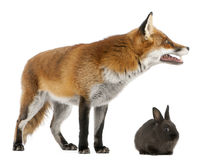 Red Fox, Vulpes vulpes, 4 years old, playing Stock Photo