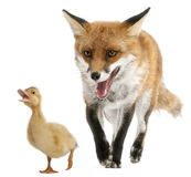 Red Fox, Vulpes vulpes, 4 years old, playing Royalty Free Stock Image