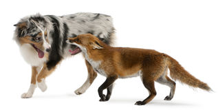 Red Fox, Vulpes vulpes, 4 years old, playing. With Australian Shepherd dog in front of white background Stock Photo
