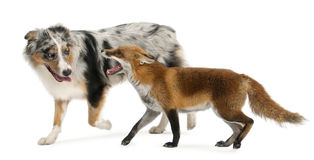 Red Fox, Vulpes vulpes, 4 years old, playing Royalty Free Stock Photography