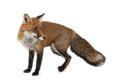 Red fox, Vulpes vulpes, 4 years old, standing Stock Image