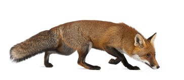 Red fox, Vulpes vulpes, 4 years old, walking Stock Images