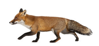 Red fox, Vulpes vulpes, 4 years old, walking Royalty Free Stock Photos