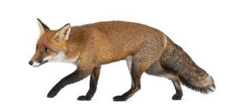 Red fox, Vulpes vulpes, 4 years old, walking stock photography