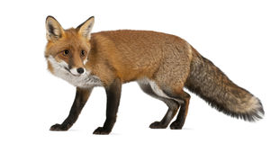 Red fox, Vulpes vulpes, 4 years old, walking. Against white background Royalty Free Stock Images