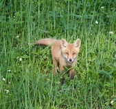 Red Fox ( Vulpes vulpes ) Royalty Free Stock Image