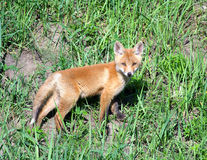 Red Fox ( Vulpes vulpes ). Russian nature, Voroenzh area royalty free stock image