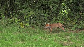 Red Fox, vulpes vulpes, Adult running on Grass, Normandy in France stock video footage