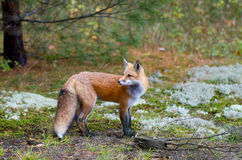 Red fox Vulpes vulpes in Algonquin Park in autumn in Canada. A Red fox (Vulpes vulpes) with a bushy tail walking in autumn in Algonquin Park, Canada royalty free stock photography