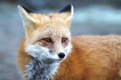 Red fox Vulpes vulpes in Algonquin Park in autumn Stock Photos