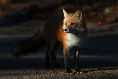 Red fox Vulpes vulpes in Algonquin Park in autumn. A Red fox (Vulpes vulpes) with a bushy tail walking in autumn in Algonquin Park, Canada royalty free stock photos