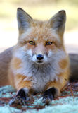 Red fox Vulpes vulpes in Algonquin Park in autumn in Canada royalty free stock images