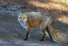 A Red fox Vulpes vulpes in Algonquin Park in autumn. Red fox Vulpes vulpes in Algonquin Park in autumn Stock Image