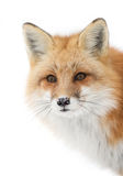 Red fox (Vulpes vulpes) with a bushy tail isolated on white background hunting in the freshly fallen snow in Algonquin. A Red fox (Vulpes vulpes&# royalty free stock photography