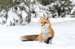 Red fox Vulpes vulpes in Algonquin Park in winter. A Red fox (Vulpes vulpes) with a bushy tail walking in autumn in Algonquin Park, Canada stock photo