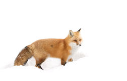 Red fox (Vulpes vulpes) with a bushy tail isolated on white background hunting in the freshly fallen snow in Algonquin. A Red fox (Vulpes vulpes&# stock image