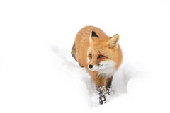 Red fox (Vulpes vulpes) with a bushy tail isolated on white background hunting in the freshly fallen snow in Algonquin. A Red fox (Vulpes vulpes&# stock photography