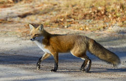Red fox Vulpes vulpes in autumn in Algonquin Park. Red fox Vulpes vulpes with bushy tail in autumn in Algonquin Park, Canada stock photography