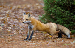 Red fox in autumn in Algonquin Park  Stock Photography