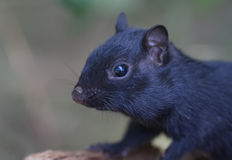 Black chipmunk Royalty Free Stock Photo
