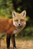 Red fox in autumn forest. Red fox Vulpes vulpes in autumn in Algonquin Park, Canada stock photography