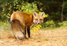 Red fox in autumn forest in Algonquin Park, Canada. Red fox Vulpes vulpes with bushy tail in autumn in Algonquin Park, Canada stock image
