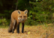 Red fox in autumn forest Stock Photos