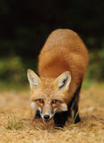 Red fox standing on pine needles Stock Images
