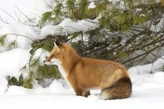 A Red fox Vulpes vulpes with a bushy tail hunting through the snow in winter in Algonquin Park, Canada. Red fox Vulpes vulpes with a bushy tail hunting through stock photography