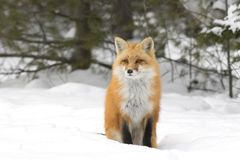 A Red fox Vulpes vulpes with bushy tail walking through the snow in Algonquin Park in Canada Stock Photos