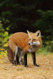 Red fox Vulpes vulpes chews on pine needles in autumn in Algonquin Park in Canada. Red fox Vulpes vulpes with bushy tail chews on pine needles in autumn in royalty free stock image