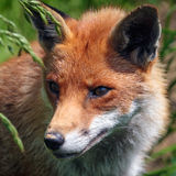 Red Fox Vulpes vulpes Stock Photography