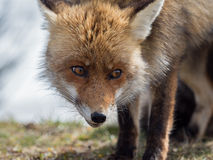 Red fox (Vulpes vulpes) close-up portrait Royalty Free Stock Photography