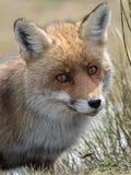 Red fox (Vulpes vulpes) close-up portrait Stock Photo