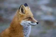 A Red fox Vulpes vulpes closeup in Algonquin Park, Canada. Red fox Vulpes vulpes closeup in Algonquin Park, Canada Royalty Free Stock Photography