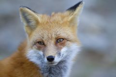 A Red fox Vulpes vulpes closeup in Algonquin Park, Canada. Red fox Vulpes vulpes closeup in Algonquin Park, Canada Royalty Free Stock Images